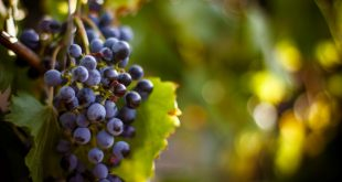 counterfeiting grapes